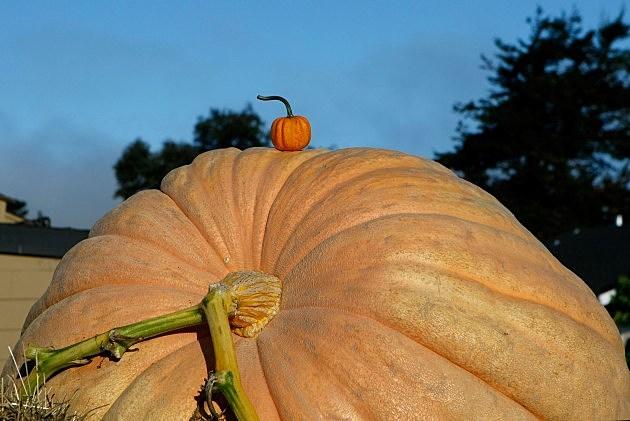 Illinois Man Has Grown Biggest Pumpkin On Record In The U.S.