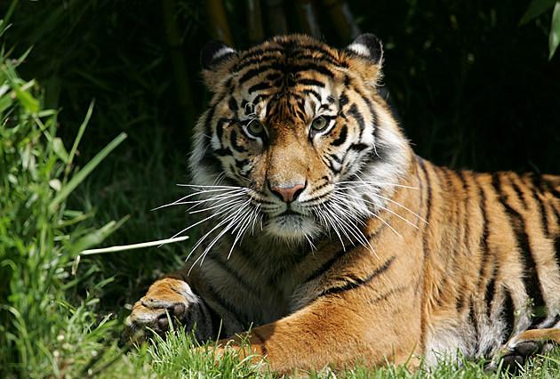 FILE: Tiger Kills Man At San Francisco Zoo